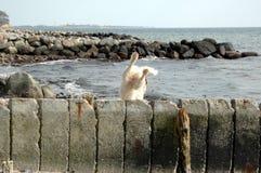 Biały pies skakał ale no wydają się ma dobrego lądowanie obraz royalty free