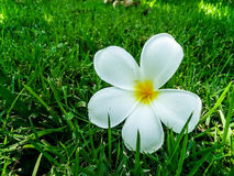 Biały plumeria zdjęcie royalty free