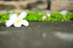 Biały plumeria zdjęcie stock