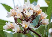 Biały Plumeria Grangipani kwitnie wiązkę Fotografia Royalty Free