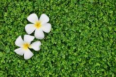 Biały Plumeria kwiat na kwiatu beggarweed zieleni opuszcza tekstury tło zdjęcia royalty free