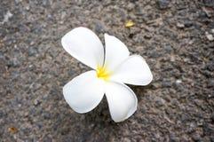 Biały Plumeria kwiat na podłoga Zdjęcia Royalty Free