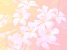Biały Plumeria kwiat w Ogrodowym Solf ostrości obrazka stylu, Piękny kolor robić z kolorów filtrami Obrazy Royalty Free