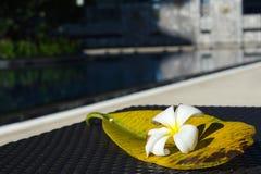 Biały Plumeria kwiat z swój dużym liściem na stołowym pobliskim pływackim basenie Zdjęcia Royalty Free