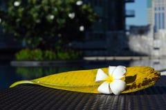 Biały Plumeria kwiat z swój dużym liściem na stołowym pobliskim pływackim basenie zdjęcia stock