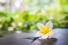 Biały plumeria kwiat z wody kroplą Obraz Royalty Free