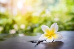Biały plumeria kwiat z wody kroplą Fotografia Royalty Free