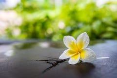 Biały plumeria kwiat z wody kroplą Obraz Stock