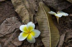 Biały plumeria kwiatu spadać Zdjęcia Stock