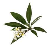 Biały Plumeria kwitnie Frangipani, Fragrant białego kwiatu kwitnienie na gałąź z zielonymi liśćmi, odizolowywającymi na białym tl zdjęcia royalty free