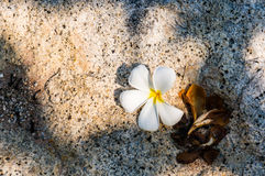 Biały plumeria kwitnie na kamiennej podłoga Fotografia Stock
