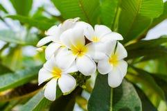 Biały plumeria lub frangipani zdjęcia royalty free