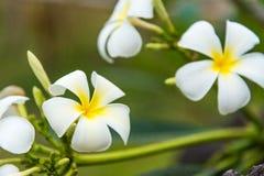 Biały plumeria lub frangipani Słodki perfumowanie od białego Plumeria fl zdjęcia stock
