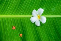 Biały plumeria na bananowym liściu Obraz Royalty Free
