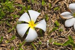 Biały Plumeria na ziemi Fotografia Stock