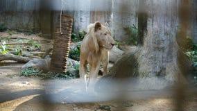 Biały Południowa Afryka lwa portret Obraz Stock