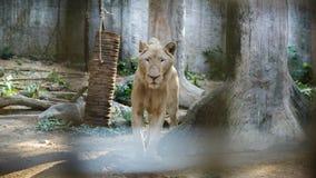 Biały Południowa Afryka lwa portret patrzeje prosto w camer Fotografia Stock