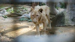 Biały Południowa Afryka lwa portret patrzeje prosto w camer Zdjęcie Royalty Free