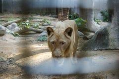 Biały Południowa Afryka lwa portret patrzeje prosto w camer Zdjęcia Stock