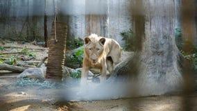 Biały Południowa Afryka lwa portret patrzeje prosto w kamerę Obrazy Stock