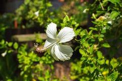 Biały poślubnika kwiat z delikatnymi płatkami Egzotyczny kwiat na zielonym krzaku Fotografia Royalty Free