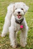 Biały Poddle pies zdjęcia royalty free