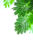 Biały popinac liść Zdjęcie Stock