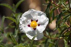 Biały posłonku kwiat z ciemnopąsowymi ocechowaniami zdjęcie stock