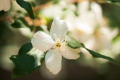 Biały Próbnej pomarańcze kwiat w lecie obrazy stock