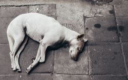 Biały przybłąkanego psa †‹â€ ‹kłama na chodniczku , Odgórny widok obrazy stock