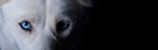 biały psi błękit oczy Zdjęcia Royalty Free