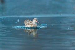 Biały ptak na zmroku - błękitne wody, Danube delta, Rumunia Obrazy Royalty Free