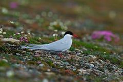 Biały ptak z czarną nakrętką z Arktycznym krajobrazem w tle, Arktyczny Tern, mostku paradisaea, Svalbard, Norwegia Tern w menchia Obraz Stock