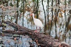 Biały ptak z długim czerwonym belfrem w Brazos chyłu stanu parku blisko Houston, Teksas Zdjęcia Royalty Free