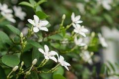 Biały pud kwiatu niebieskiego nieba słońca światła ranek Obrazy Stock