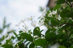 Biały pud kwiatu niebieskiego nieba słońca światła ranek Obraz Stock