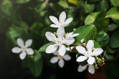 Biały pud kwiatu niebieskiego nieba słońca światła ranek Fotografia Stock
