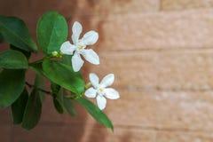 Biały pud kwiatu niebieskiego nieba słońca światła ranek Zdjęcie Stock