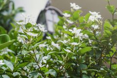 Biały pud kwiatu niebieskiego nieba słońca światła ranek Obraz Royalty Free