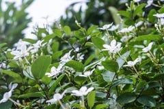 Biały pud kwiatu niebieskiego nieba słońca światła ranek Obrazy Royalty Free