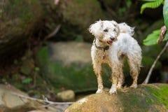 Biały pudla pies obraz stock