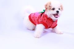 Biały pudla szczeniak jest ubranym czerwoną koszula. odizolowywający na białym plecy Fotografia Stock