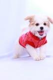 Biały pudla szczeniak jest ubranym czerwoną koszula. odizolowywający na białym plecy Fotografia Royalty Free