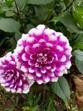 Biały purpura kwiat obraz stock