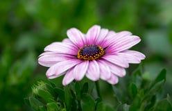 Biały purpurowy afrykańskiej stokrotki Osteospermum kwiat obrazy stock