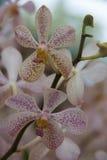 Biały & Purpurowy Storczykowy świeży kwiat background33 Zdjęcia Stock