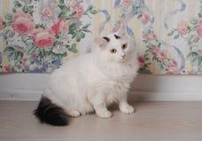 Biały puszysty angorski kot na tle kwiecista ściana Zdjęcia Stock