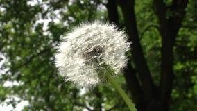 Biały puszysty dandelion kiwa w wiatrze zbiory