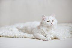 Biały puszysty kota lying on the beach na białym trenerze Zdjęcia Royalty Free
