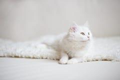 Biały puszysty kota lying on the beach na białym trenerze Obraz Stock